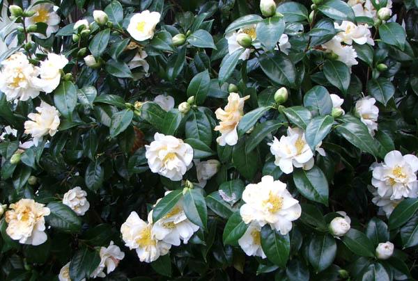 Green-white-camellia